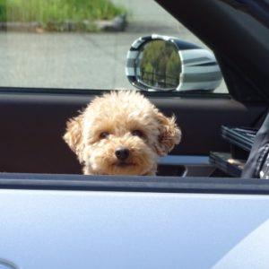 犬の車酔いを防いで楽しく出かけよう